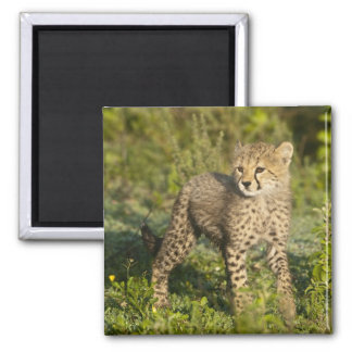 Africa. Tanzania. Cheetah cub at Ndutu in the Magnet