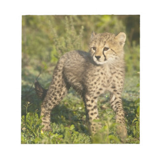 Africa. Tanzania. Cheetah cub at Ndutu in the Notepad