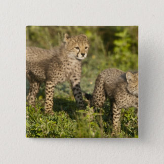 Africa. Tanzania. Cheetah cubs at Ndutu in the 15 Cm Square Badge