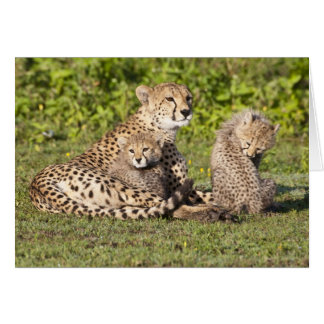 Africa. Tanzania. Cheetah mother and cubs 2 Card