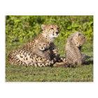 Africa. Tanzania. Cheetah mother and cubs 2 Postcard