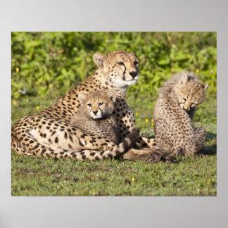 Africa. Tanzania. Cheetah mother and cubs 2 Poster