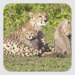 Africa. Tanzania. Cheetah mother and cubs 2 Square Sticker
