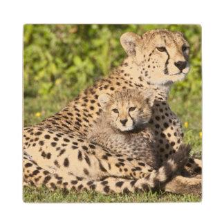 Africa. Tanzania. Cheetah mother and cubs 2 Wood Coaster