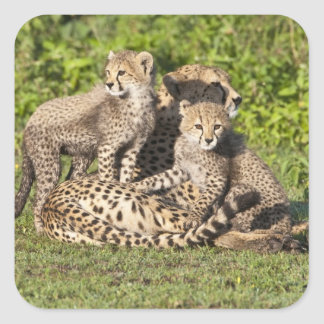 Africa. Tanzania. Cheetah mother and cubs Square Sticker