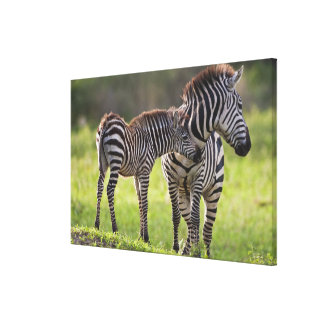 Africa. Tanzania. Common Zebra mother and baby Canvas Print