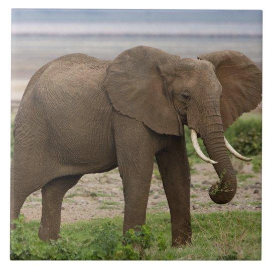 Africa. Tanzania. Elephant at Lake Manyara NP. Large Square Tile
