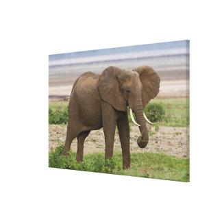 Africa. Tanzania. Elephant at Lake Manyara NP. Stretched Canvas Prints