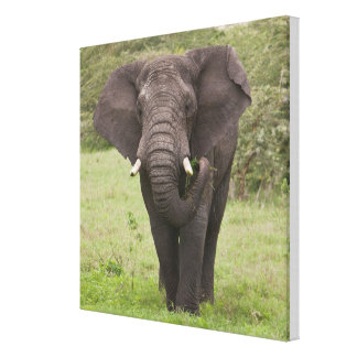 Africa Tanzania Elephant at Ngorongoro Crater Gallery Wrap Canvas