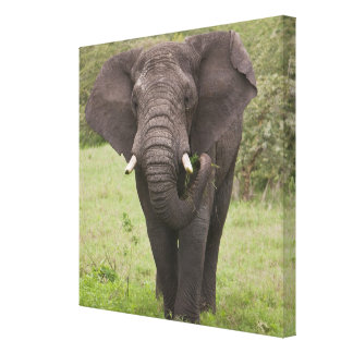 Africa. Tanzania. Elephant at Ngorongoro Crater, Stretched Canvas Prints