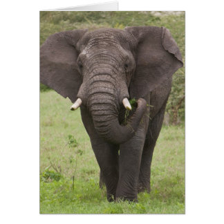 Africa. Tanzania. Elephant at Ngorongoro Crater, Card