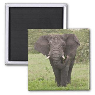 Africa. Tanzania. Elephant at Ngorongoro Crater, Magnet