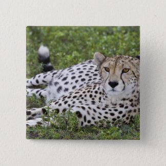 Africa. Tanzania. Female Cheetah at Ndutu in the 15 Cm Square Badge