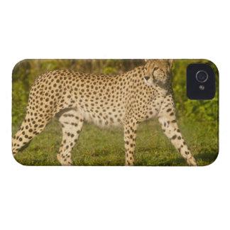 Africa. Tanzania. Female Cheetah at Ndutu in the 2 Case-Mate iPhone 4 Case