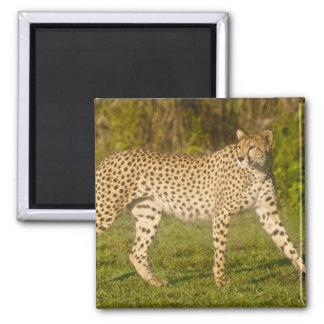 Africa. Tanzania. Female Cheetah at Ndutu in the 2 Magnet