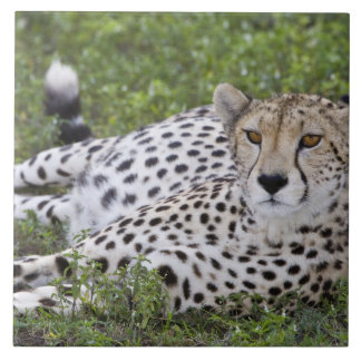 Africa. Tanzania. Female Cheetah at Ndutu in the Large Square Tile