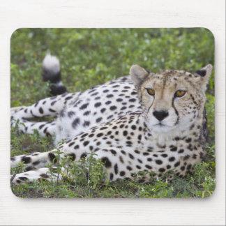 Africa. Tanzania. Female Cheetah at Ndutu in the Mouse Mat
