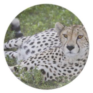 Africa. Tanzania. Female Cheetah at Ndutu in the Plate