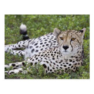 Africa. Tanzania. Female Cheetah at Ndutu in the Postcard