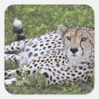 Africa. Tanzania. Female Cheetah at Ndutu in the Square Sticker