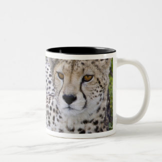 Africa. Tanzania. Female Cheetah at Ndutu in the Two-Tone Coffee Mug