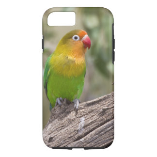 Africa. Tanzania. Fischer's Lovebird at Ndutu in iPhone 8/7 Case