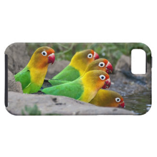 Africa. Tanzania. Fischer's Lovebirds drinking iPhone 5 Covers