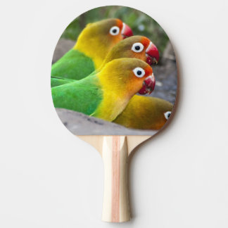 Africa. Tanzania. Fischer's Lovebirds drinking Ping Pong Paddle