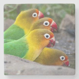 Africa. Tanzania. Fischer's Lovebirds drinking Stone Coaster