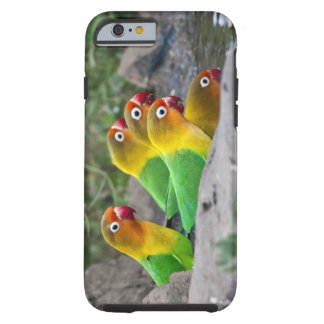 Africa. Tanzania. Fischer's Lovebirds drinking Tough iPhone 6 Case