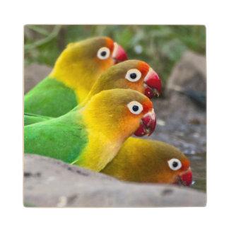 Africa. Tanzania. Fischer's Lovebirds drinking Wood Coaster