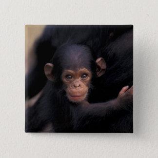 Africa, Tanzania, Gombe Nat'l Park,  Flirt, a 15 Cm Square Badge