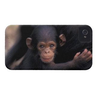 Africa, Tanzania, Gombe Nat'l Park,  Flirt, a Case-Mate iPhone 4 Cases