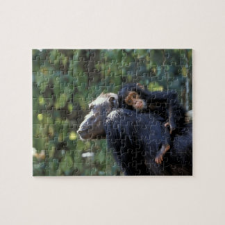AFRICA, Tanzania, Gombe NP, Chimpanzees.  Female Puzzle