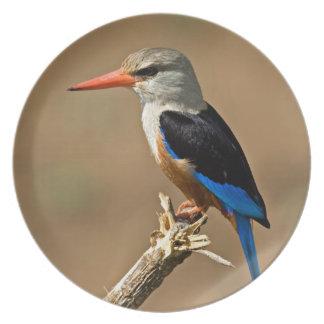 Africa, Tanzania, Grey-headed Kingfisher Plate