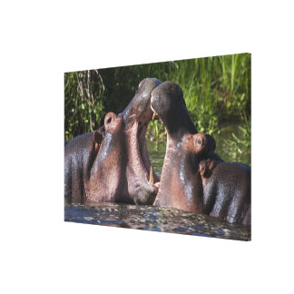 Africa. Tanzania. Hippopotamus sparring at the Canvas Prints