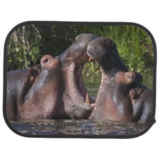 Africa. Tanzania. Hippopotamus sparring at the Car Mat