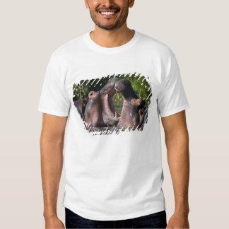 Africa. Tanzania. Hippopotamus sparring at the Shirt