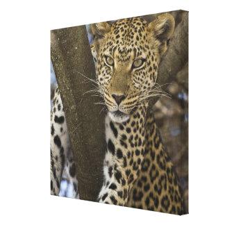 Africa. Tanzania. Leopard in tree at Serengeti Canvas Print