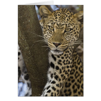 Africa. Tanzania. Leopard in tree at Serengeti Card