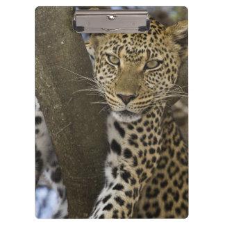 Africa. Tanzania. Leopard in tree at Serengeti Clipboard