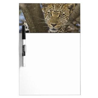 Africa. Tanzania. Leopard in tree at Serengeti Dry Erase Board