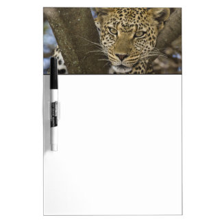 Africa. Tanzania. Leopard in tree at Serengeti Dry-Erase Whiteboard