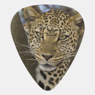 Africa. Tanzania. Leopard in tree at Serengeti Guitar Pick