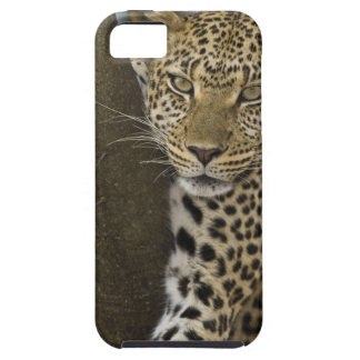 Africa. Tanzania. Leopard in tree at Serengeti iPhone 5 Cases