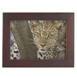 Africa. Tanzania. Leopard in tree at Serengeti Keepsake Box