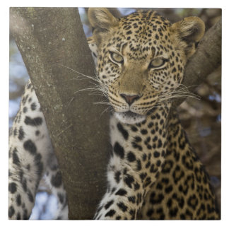 Africa. Tanzania. Leopard in tree at Serengeti Large Square Tile