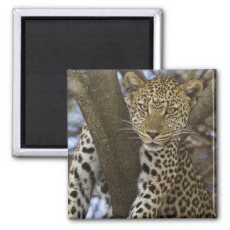 Africa. Tanzania. Leopard in tree at Serengeti Refrigerator Magnets