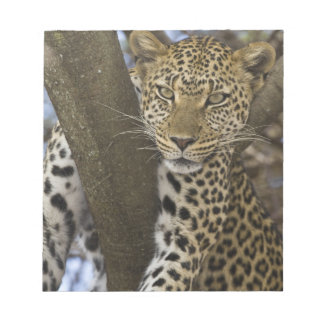 Africa. Tanzania. Leopard in tree at Serengeti Notepad