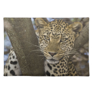 Africa. Tanzania. Leopard in tree at Serengeti Placemats